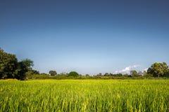 Giacimento del riso con chiaro cielo blu Fotografie Stock Libere da Diritti