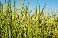 Giacimento del riso con chiaro cielo blu Fotografie Stock