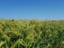 Giacimento del riso con cielo blu Fotografia Stock Libera da Diritti