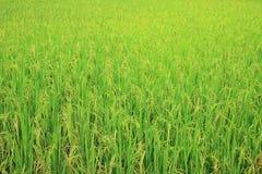 Giacimento del riso con il panicle del riso Immagine Stock
