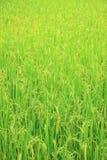 Giacimento del riso con il panicle del riso Fotografia Stock