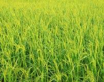 Giacimento del riso con il panicle del riso Immagine Stock Libera da Diritti