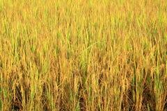 Giacimento del riso con il panicle del riso Fotografie Stock
