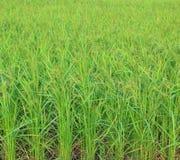 Giacimento del riso con il panicle del riso Fotografia Stock Libera da Diritti
