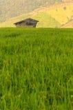 Giacimento del riso con il piccolo riparo Fotografia Stock Libera da Diritti