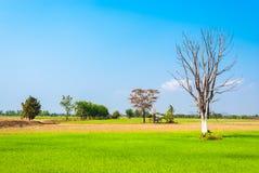 Giacimento del riso con il piccolo riparo abbandonato ed il grande albero Fotografia Stock Libera da Diritti