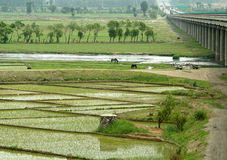 Giacimento del riso con il ponticello Fotografia Stock Libera da Diritti