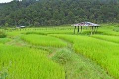 Giacimento del riso con la baracca Immagine Stock