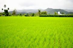 Giacimento del riso con la montagna Fotografia Stock Libera da Diritti