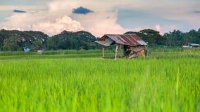 Giacimento del riso con la nuvola Fotografia Stock Libera da Diritti
