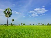 Giacimento del riso con la palma Fotografia Stock Libera da Diritti