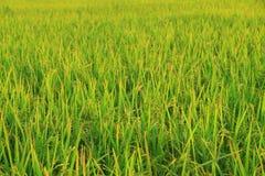 Giacimento del riso con la pannocchia del riso Fotografia Stock Libera da Diritti