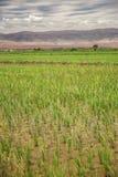 Giacimento del riso con le montagne e le nuvole nei precedenti Fotografie Stock