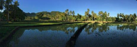 Giacimento del riso con panorama di riflessione di palmtrees e della montagna Fotografie Stock