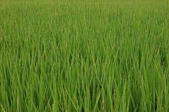 Giacimento del riso con rugiada sulle foglie nel primo mattino Fotografie Stock