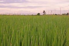 Giacimento del riso con rugiada sulle foglie nel primo mattino Immagine Stock Libera da Diritti