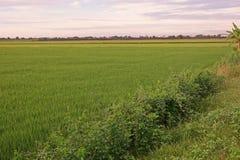 Giacimento del riso con rugiada sulle foglie nel primo mattino Fotografia Stock Libera da Diritti