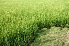 Giacimento del riso con struttura del fondo dell'azienda agricola di agricoltura dell'erba verde dalla TAILANDIA Fotografia Stock Libera da Diritti