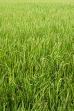 Giacimento del riso con struttura del fondo dell'azienda agricola di agricoltura dell'erba verde dalla TAILANDIA Fotografia Stock