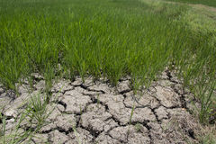 Giacimento del riso con terra asciutta incrinata Immagine Stock