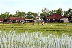 Giacimento del riso del Bali Fotografia Stock Libera da Diritti