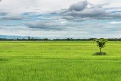 Giacimento del riso del gelsomino della risaia con cielo blu Fotografia Stock