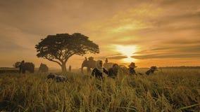 Giacimento del riso del raccolto Immagine Stock Libera da Diritti