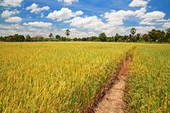 Giacimento del riso del raccolto con il sentiero per pedoni contro cielo blu Fotografia Stock