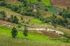 Giacimento del riso del terrazzo Immagine Stock Libera da Diritti
