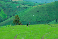 Giacimento del riso del terrazzo in Tailandia del nord Campo di risaia di PA Bong Piang in Chiang Mai Tailandia Fotografia Stock Libera da Diritti