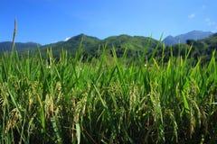 Giacimento del riso del Vietnam Fotografia Stock