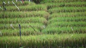 Giacimento del riso del villaggio stock footage