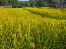 Giacimento del riso dell'agricoltore e del sole di mattina, in Tailandia Immagine Stock Libera da Diritti