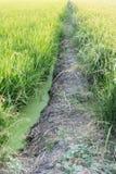 Giacimento del riso dell'agricoltore in Tailandia Fotografie Stock