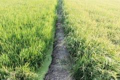Giacimento del riso dell'agricoltore in Tailandia Fotografia Stock Libera da Diritti