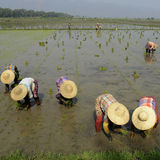 GIACIMENTO DEL RISO DELL'ASIA MYANMAR NYAUNGSHWE Immagine Stock