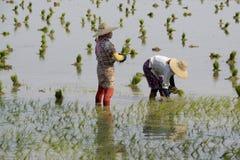 GIACIMENTO DEL RISO DELL'ASIA MYANMAR NYAUNGSHWE Fotografie Stock Libere da Diritti