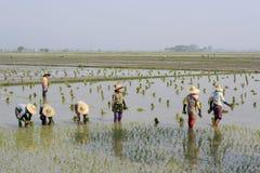 GIACIMENTO DEL RISO DELL'ASIA MYANMAR NYAUNGSHWE Immagine Stock Libera da Diritti