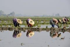 GIACIMENTO DEL RISO DELL'ASIA MYANMAR NYAUNGSHWE Fotografie Stock