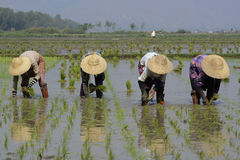 GIACIMENTO DEL RISO DELL'ASIA MYANMAR NYAUNGSHWE Fotografia Stock