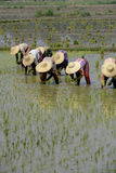 GIACIMENTO DEL RISO DELL'ASIA MYANMAR NYAUNGSHWE Fotografia Stock Libera da Diritti