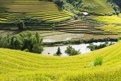Giacimento del riso dell'Asia raccogliendo stagione nel distretto della MU Cang Chai, Yen Bai, Vietnam Le risaie a terrazze sono  Fotografia Stock Libera da Diritti
