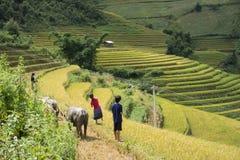 Giacimento del riso dell'Asia raccogliendo stagione nel distretto della MU Cang Chai, Yen Bai, Vietnam Le risaie a terrazze sono  Immagini Stock Libere da Diritti