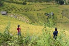 Giacimento del riso dell'Asia raccogliendo stagione nel distretto della MU Cang Chai, Yen Bai, Vietnam Le risaie a terrazze sono  Fotografia Stock