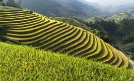 Giacimento del riso dell'Asia raccogliendo stagione nel distretto della MU Cang Chai, Yen Bai, Vietnam Le risaie a terrazze sono  Immagine Stock