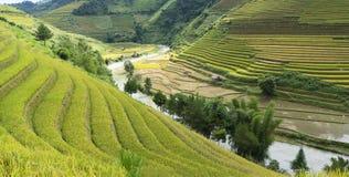 Giacimento del riso dell'Asia raccogliendo stagione nel distretto della MU Cang Chai, Yen Bai, Vietnam Le risaie a terrazze sono  Fotografie Stock