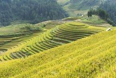 Giacimento del riso dell'Asia raccogliendo stagione nel distretto della MU Cang Chai, Yen Bai, Vietnam Le risaie a terrazze sono  Immagine Stock Libera da Diritti