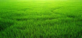 Giacimento del riso dell'erba verde Immagini Stock
