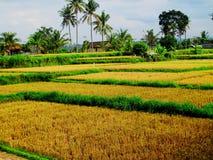 Giacimento del riso dell'isola di Bali con cielo blu Fotografie Stock Libere da Diritti