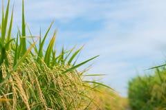 Giacimento del riso dell'oro Fotografia Stock Libera da Diritti